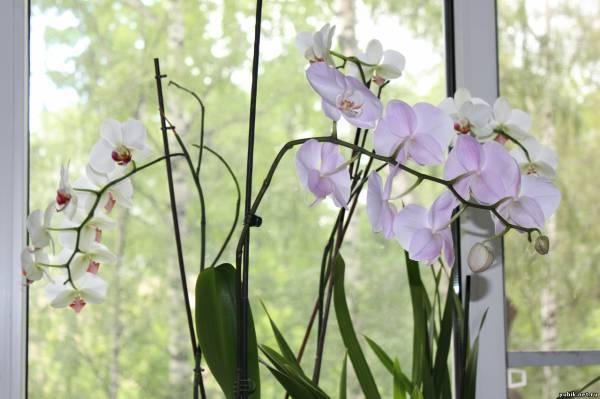 Орхидея когда цветут в домашних условиях