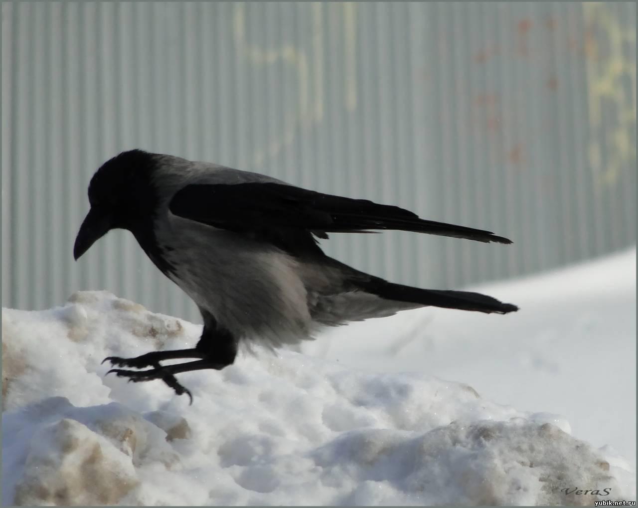 Зимние птицы ворона фото 5